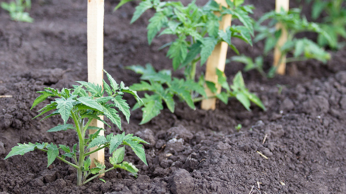 tomato seedlings in the ground